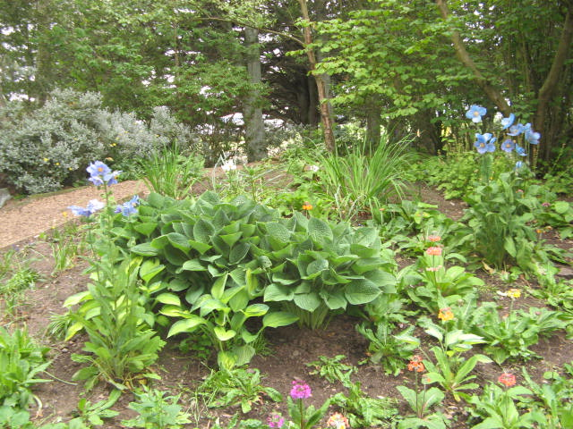 2015 meconopsis in primula bed